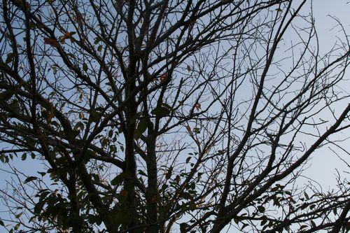 大学の桜の木も枯葉が増えてきました。