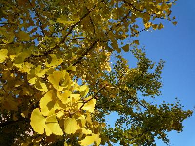 黄色いいちょう