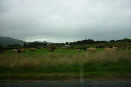 放牧された牛達が大量にいます。