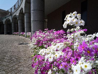 串間さんの桜草