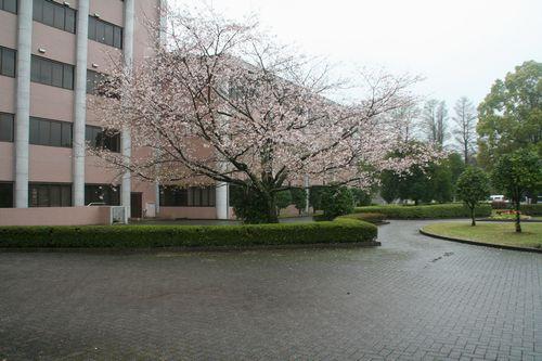 講堂前の桜も、卒業生を祝っています。