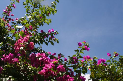 南国を思わせる花、ブーゲンビリア 花言葉は「情熱、秘められた思い」など・・