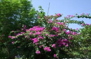 「凌雲会館」の駐車場にある南国の花ブーゲンビリア!