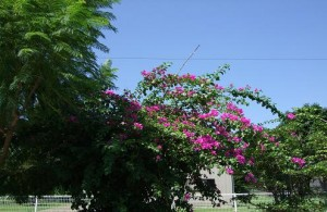 ショッキングピンクの花が青空に映えます!!