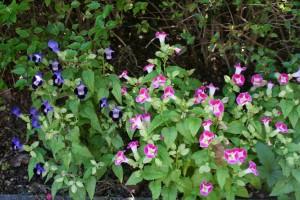 色は違えど同じ植物です