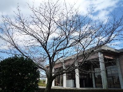 この桜も…