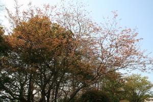 茶色ですが枯葉ではなく新芽です。